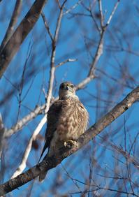 MFシリーズその9コチョウゲンボウ♀ - 今日も鳥撮り