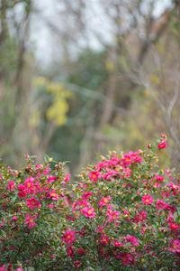 山茶花咲く。。。 - 気ままにお散歩