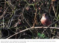 さくら草公園 2018.12.15 - 鳥撮り遊び