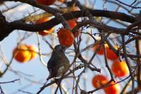 柿とヒヨドリ - 森と水の記憶