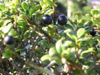 黒い黄楊の実 - 家の周りの季節感