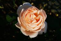 庭の薔薇 [2018/12/15] - 春&ナナと庭の薔薇