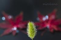しずくと紅葉。 - MIRU'S PHOTO