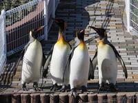 キングペンギンが外で見られた。 - 風に流され、気まま気まぐれ