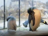 エンペラーペンギンの雛はもうすぐ10kg! - 風に流され、気まま気まぐれ