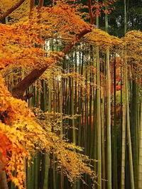 圓光寺竹藪に秋の色 - 風の香に誘われて 風景のふぉと缶