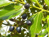 ヤブニッケイ(藪肉桂)の果実が黒くなってきました。 - デジカメ散歩悠々