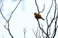 ヤマガラ、シメ、谷間の紅葉など - ぶらり散歩 ~四季折々フォト日記~