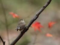 12月16日、オジロビタキリベンジに!今日は曇りで光の変化がなく撮影しやすかった600枚を超えたので帰ろうとするとカワセミ発見・・・700枚超えに! - 鳥撮り日誌