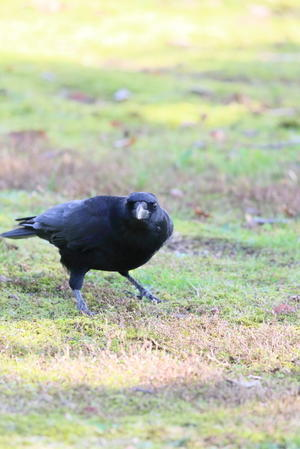 黒い鳥カラス - 平凡な日々の中で