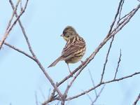枯れ木に留まったアオジです - コーヒー党の野鳥と自然 パート2