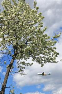 2018 すももの花~旭川空港5月~ - 自由な空と雲と気まぐれと ~from 旭川空港~