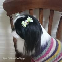 今月の犬リボン☆太らせ計画 - 狆の茶々丸