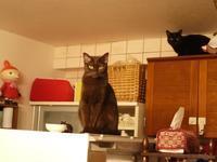 高い場所がカッコいいの猫 あんしゃぁりぃめりぃぽぴんず編。 - ゆきねこ猫家族