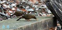 うるさうほど鳴く鳥です、バツト今日は静かに餌を食べてます。誠 - 皇 昇