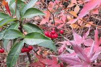 ■赤い実18.12.17(マンリョウ、ガマズミ、マユミ) - 舞岡公園の自然2