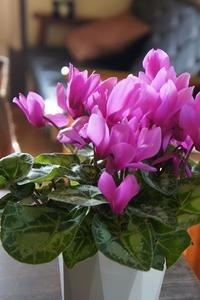 ピンクが鮮やか。【シクラメン&ベゴニア】 - 森小日記(もりしょうにっき)