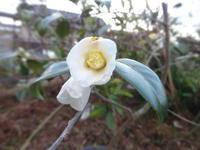 侘助 - だんご虫の花