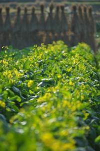 アブラナ - まほろば 庭いじり