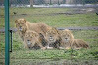 2018.12.16 岩手サファリパーク☆肉食動物探検バスツアー~茶獅子白獅子編 - 青空に浮かぶ月を眺めながら