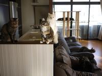 猫のお留守番 天ちゃん麦くん茶くん〇くんAoiちゃん編。 - ゆきねこ猫家族
