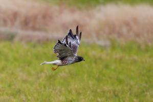 ズグロチュウヒの飛翔 - T/Hの野鳥写真-Ⅲ