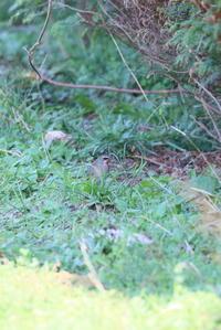 喉元が赤い野鳥ノゴマ - 平凡な日々の中で