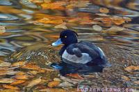 黄葉の水面 - 気ままな生き物撮り