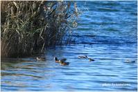 ぶらり河川敷公園~水鳥達。 - 今日のいちまい