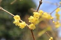 ソシンロウバイが開花し始めました! - 神戸布引ハーブ園 ハーブガイド ハーブ花ごよみ