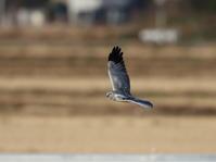 ハイイロチュウヒその11 - 私の鳥撮り散歩