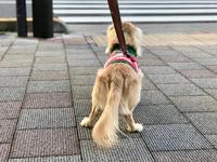 18年12月19日  暖かなひるんぽ&嬉しいお知らせ。 - 旅行犬 さくら 桃子 あんず 日記