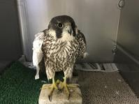 野生傷病鳥(ハヤブサ)のトレーニング - 新米ファルコナー(鷹匠)の随想録