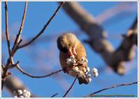 栴檀の実大好きカワラヒワ - 野鳥の素顔 <野鳥と日々の出来事>