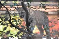 2018年12月とべ動物園その7ピューマ親子2 - ハープの徒然草