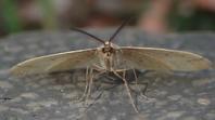 クロスジフユエダシャク おす Pachyerannis obliquaria - 写ればおっけー。コンデジで虫写真