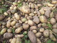 ジャガイモ - ひろしの「どっこい田んぼのジャージーデー」