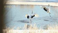 タンチョウ - 北の野鳥たち