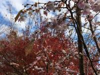 桜と紅葉@ - 小粋な道草ブログ