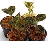 宝石蘭と呼ばれるジュエルオーキッド - ZERO PLANTS / BLOG