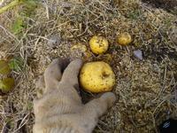じゃが芋の収穫・・・南国畑、古民家畑 - 化学物質過敏症・風のたより2