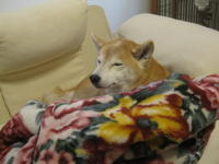 寝床は自分で整える主義な柴犬 - オーク、熟成中