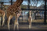 キリンの赤ちゃんに会ってきた - 動物園へ行こう