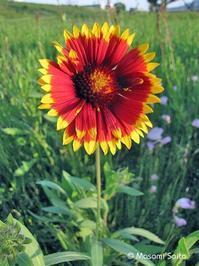 テンニンギク・グランディフローラ(天人菊Grandiflora) - 草花と自然Blog