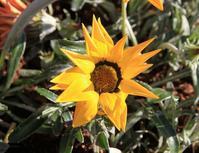 勲章のような花 - 神戸布引ハーブ園 ハーブガイド ハーブ花ごよみ