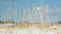 ユキホオジロ - 北の野鳥たち