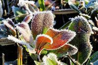 霜の朝、紅葉も見納めに - ぶらり散歩 ~四季折々フォト日記~
