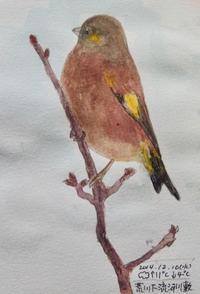 #野鳥スケッチ #ネイチャー・ジャーナル 『カワラヒワ』 - スケッチ感察ノート (Nature journal)