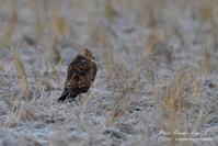 猛禽を撮る...⑥ チュウヒとコチョウゲンボウ - フォト エチュード  Photo-Etudes