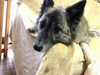 のーんびーり - 琉球犬mix白トゥラーのピカ